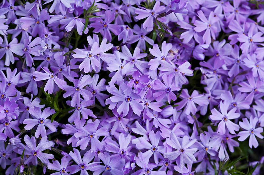 Phlox Mountain Pink