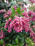 Pieris Passion (Andromeda)