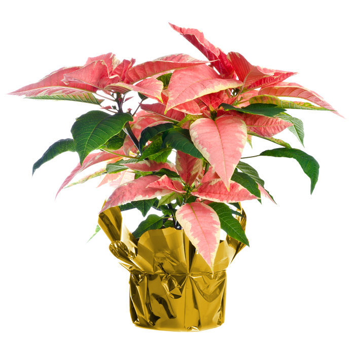 Marble Pink Poinsettia