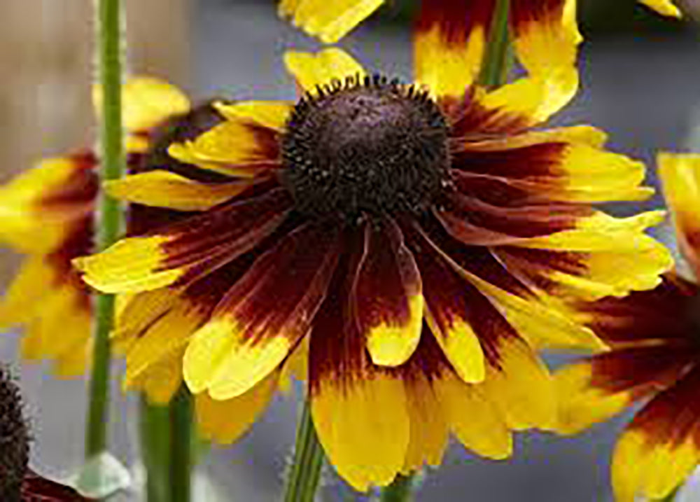 Rudbeckia Kissing Smiley