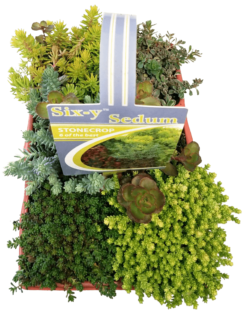 Six-y Sedum Tray