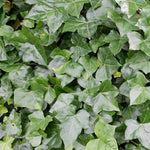 Staked English Ivy
