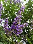 Vitex Shoal Creek