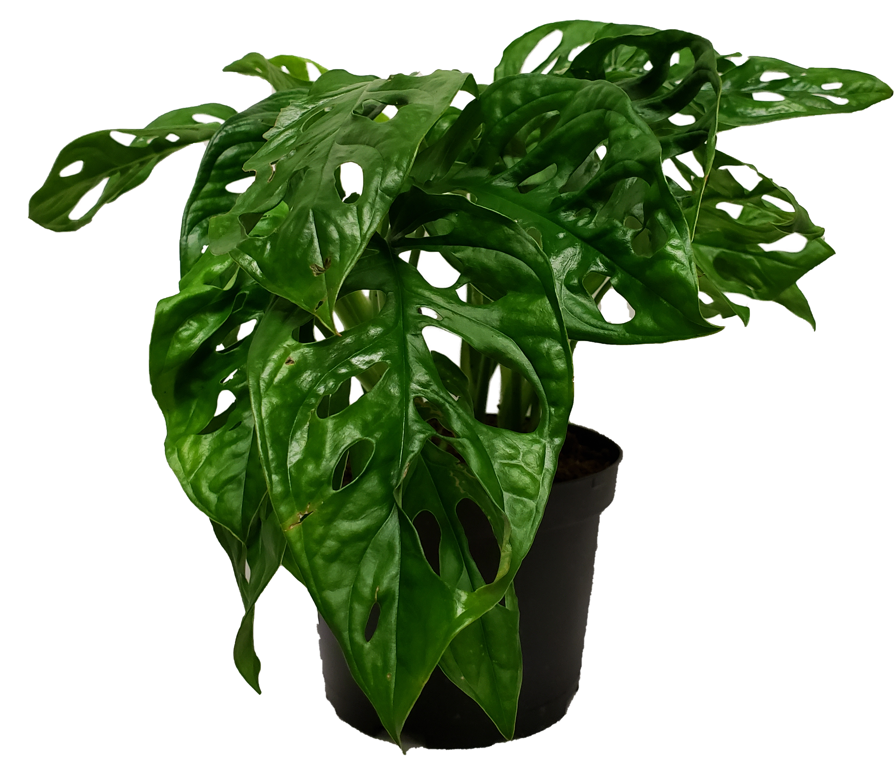 Monstera Adansonii Small