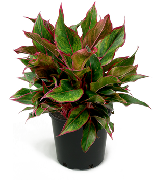 Aglaonema Siam Large