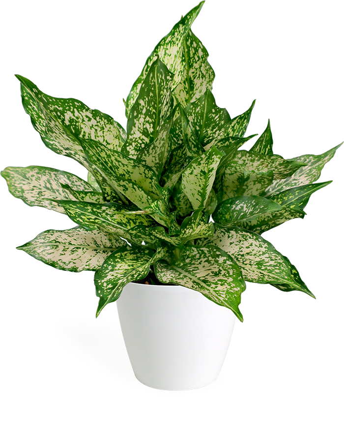 Aglaonema Spring Snow Small
