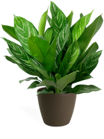 Aglaonema Stripes Large