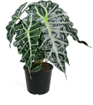 Alocasia Polly Medium