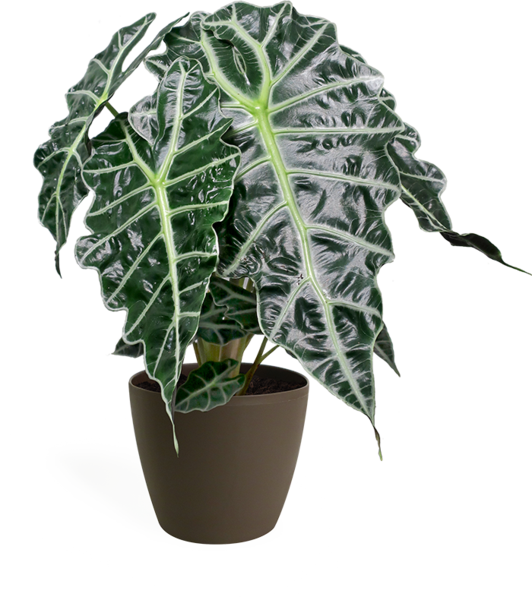 Alocasia Polly Small