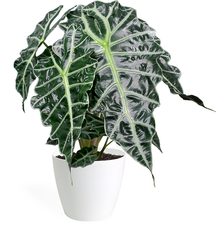 Alocasia Polly Large