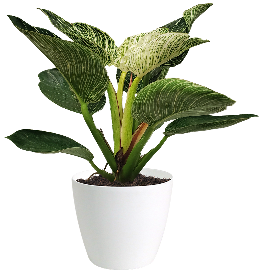 Philodendron Birkin Small