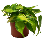Philodendron Brazil Small