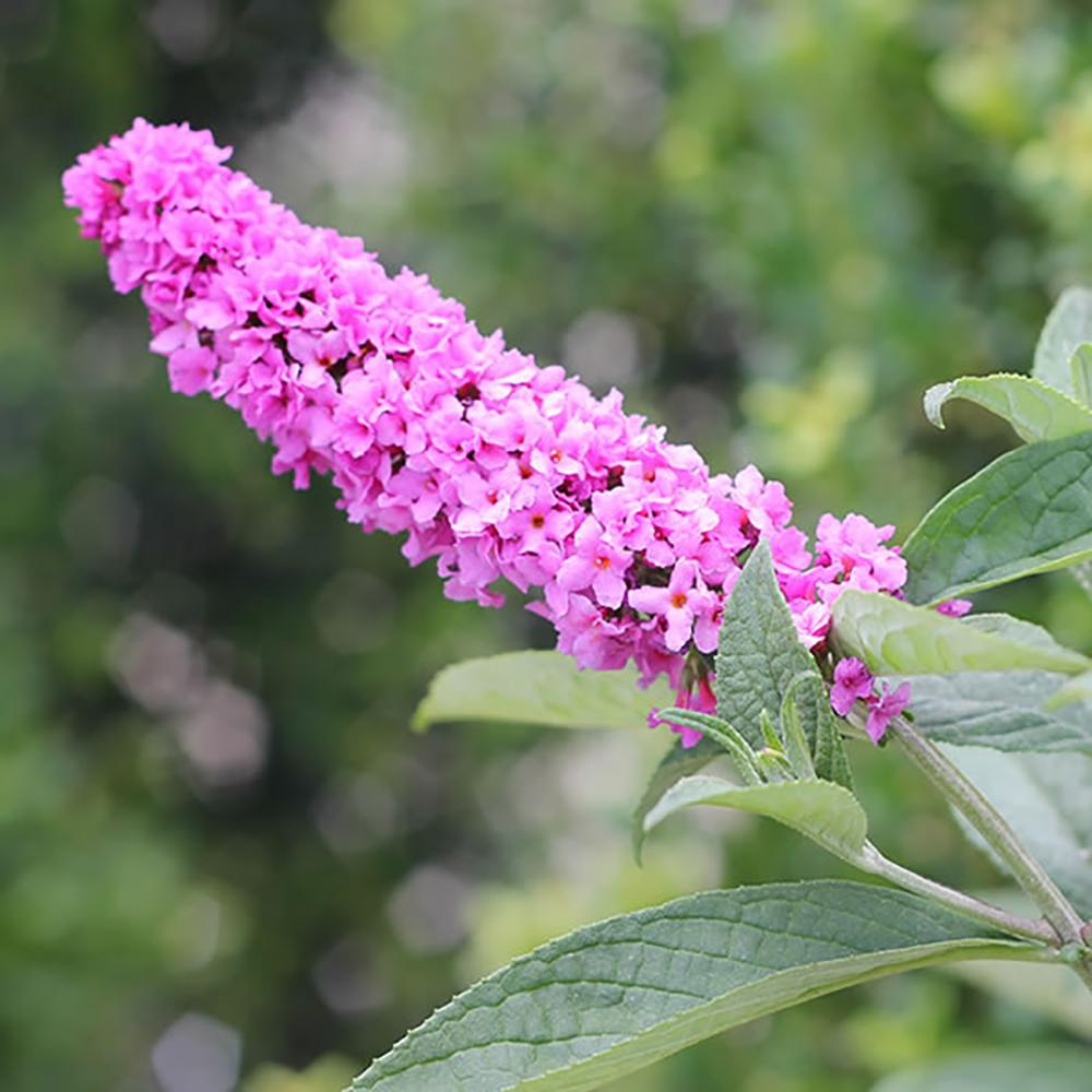 Buddleia Pink Micro Chip