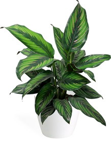 Calathea Beauty Star Small