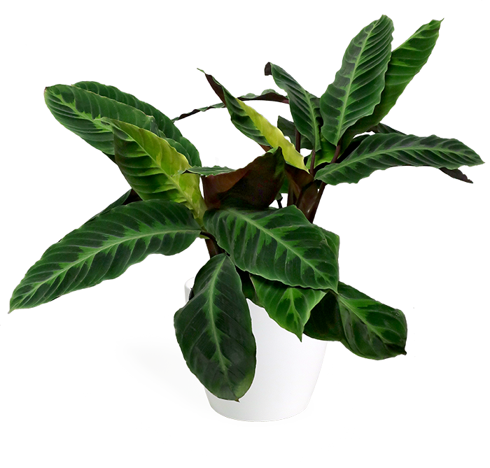 Calathea zebrina 'Jungle Velvet' Large