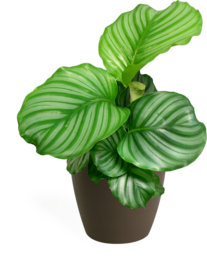Calathea Orbifolia Small