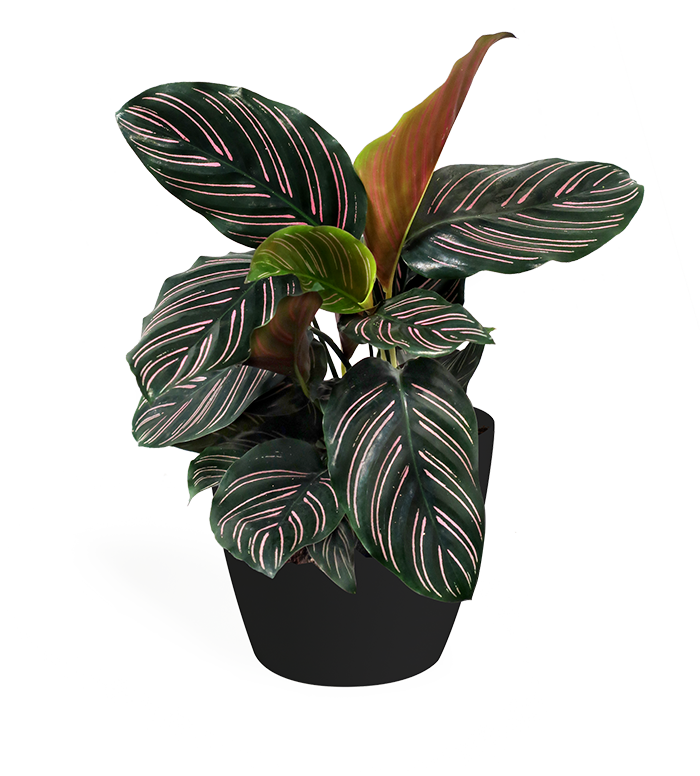Calathea Ornata Small