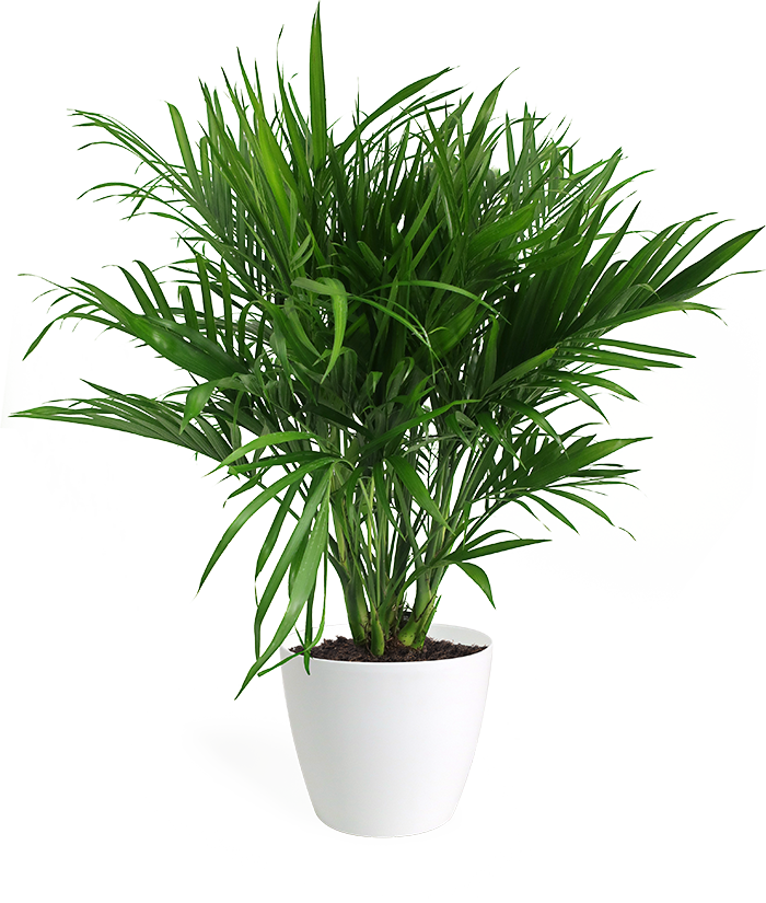 Cat Palm Large