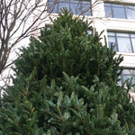 Large 10-12' Christmas Tree