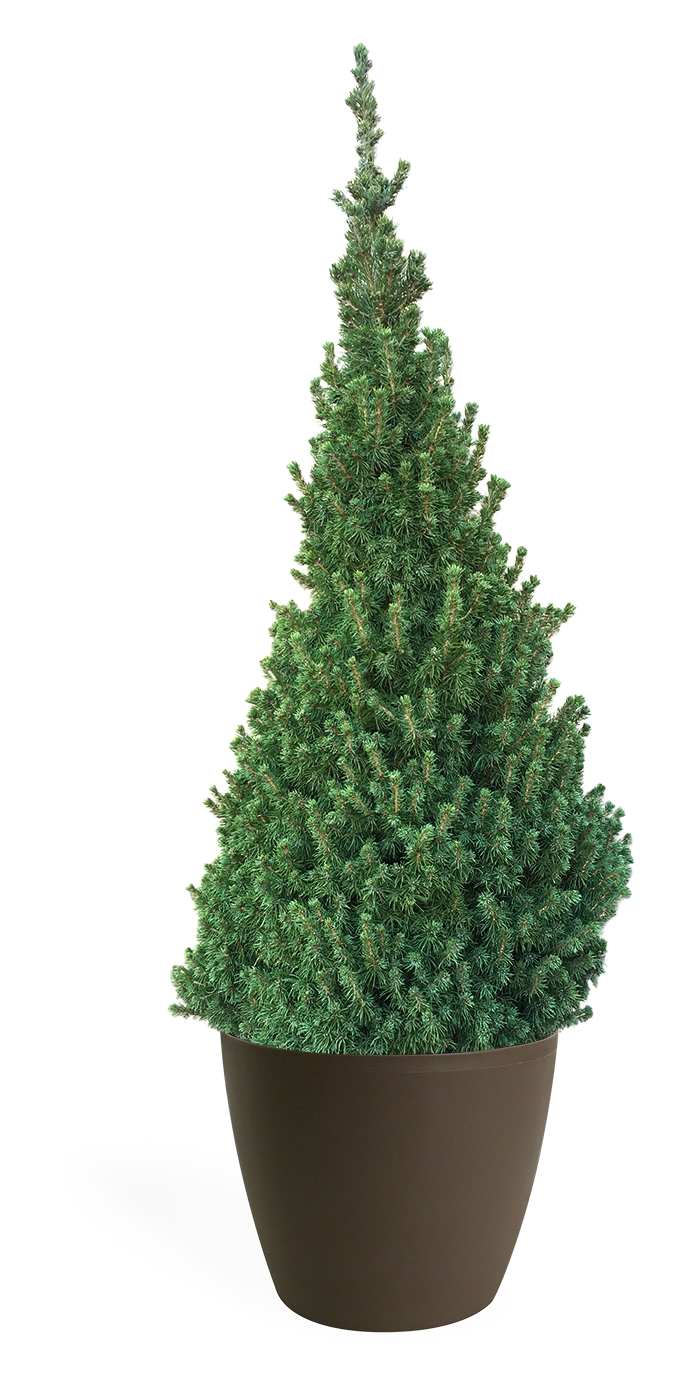 5' Living Dwarf Alberta Spruce Christmas Tree