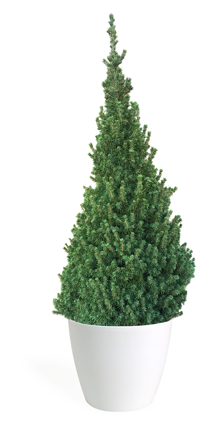 4' Living Dwarf Alberta Spruce Christmas Tree