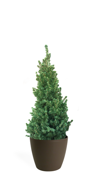3' Living Dwarf Alberta Spruce Christmas Tree