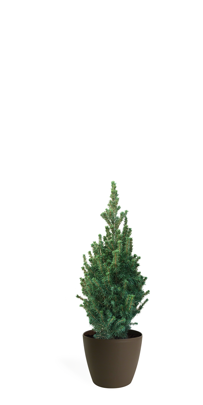2' Living Dwarf Alberta Spruce Christmas Tree