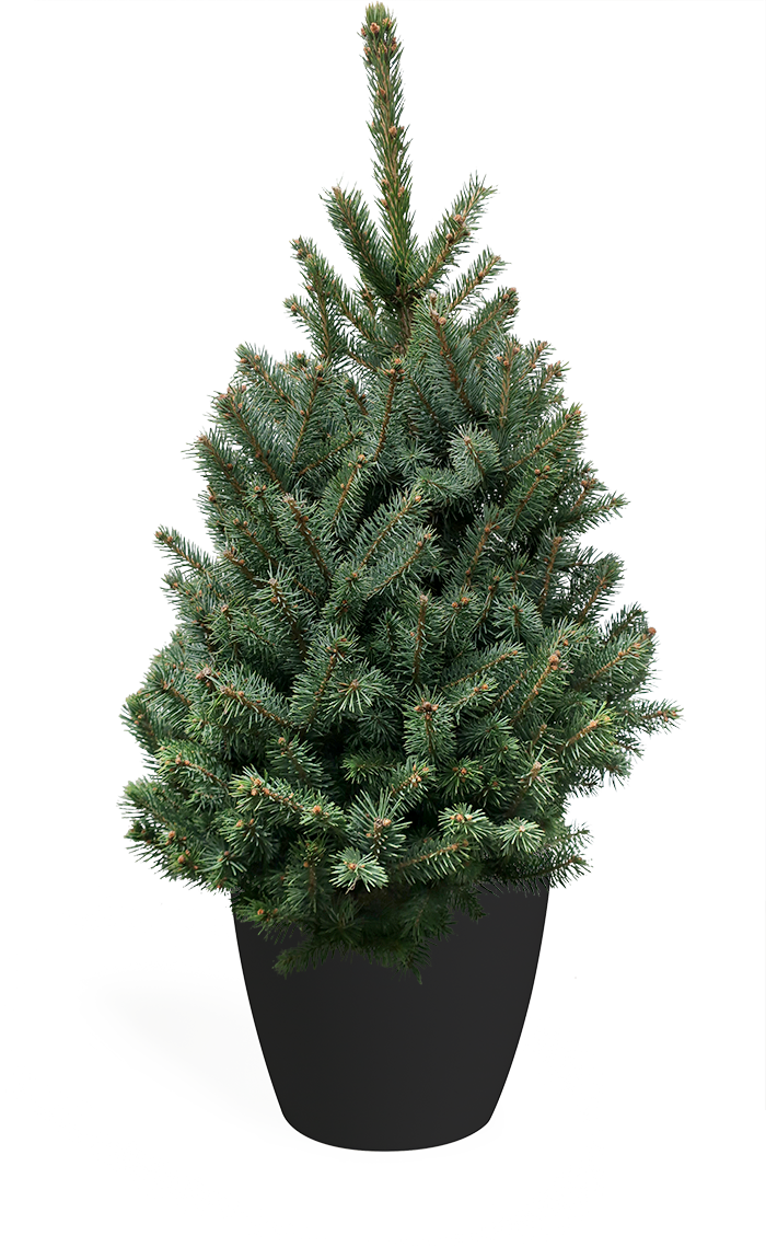 3' Living Baby Blue Spruce Christmas Tree