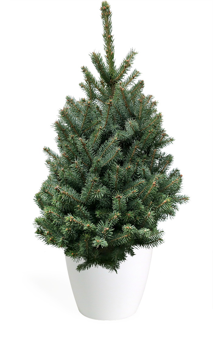 3 Living Baby Blue Spruce Christmas Tree Chelsea Garden Center