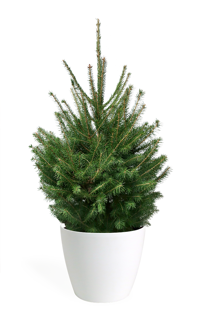 3' Living Norway Spruce Christmas Tree