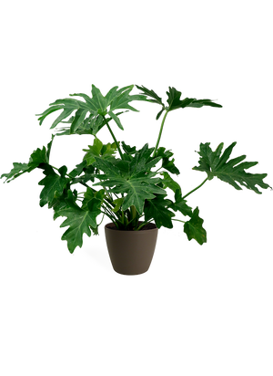 Philodendron Selloum Small