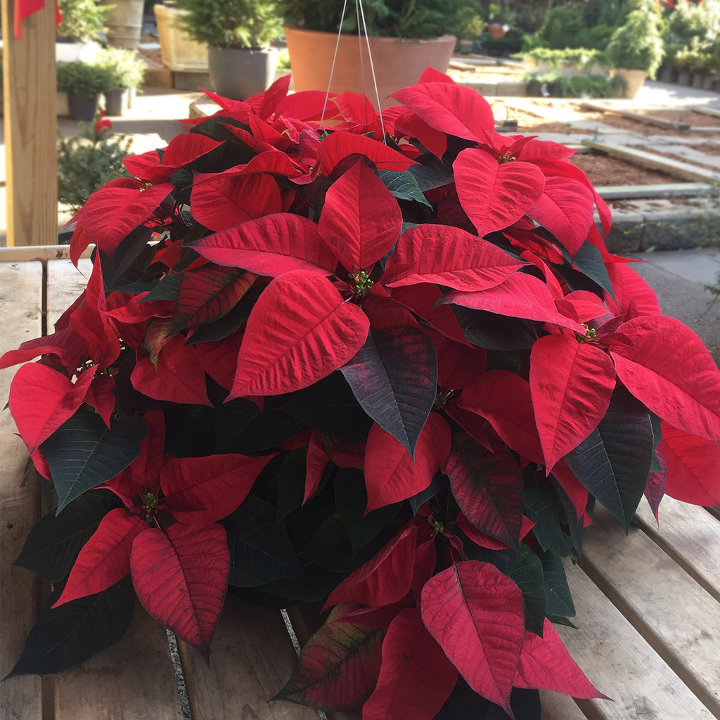 Belden Poinsettia Hanging Basket