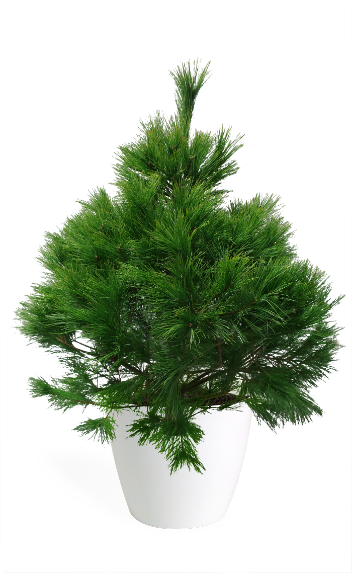 3' Living Eastern White Pine Christmas Tree