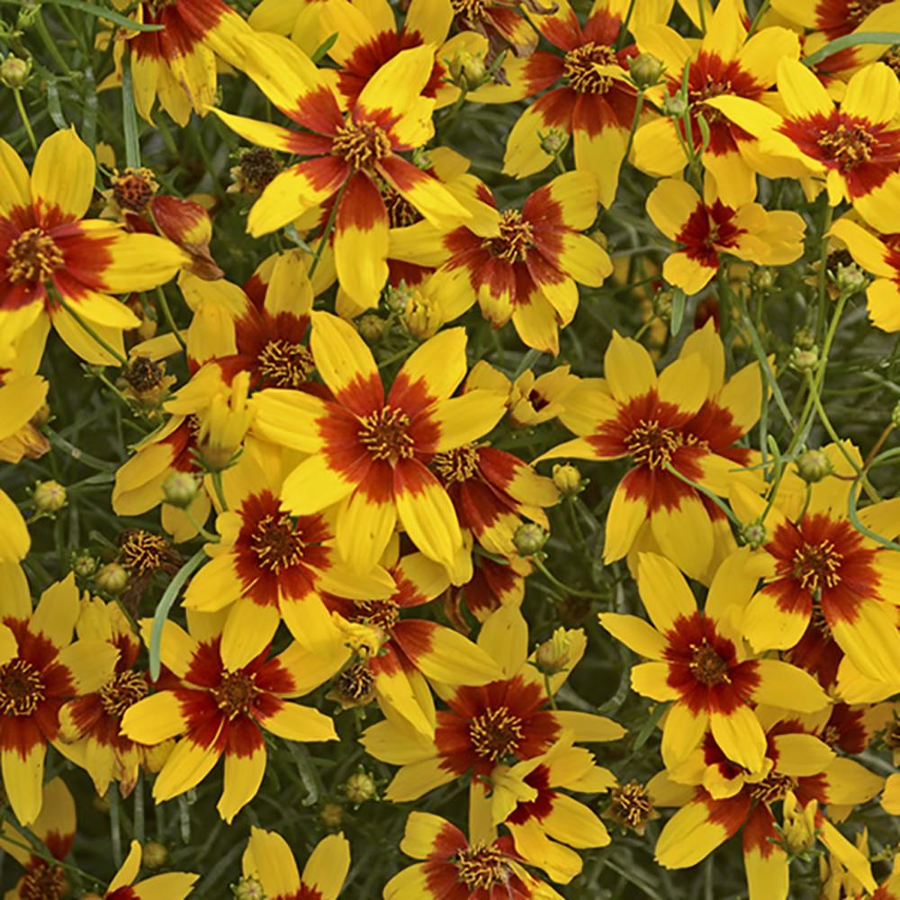 Coreopsis Sizzle & Spice Curry Up