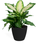 Dieffenbachia Camille Small in Eva Black