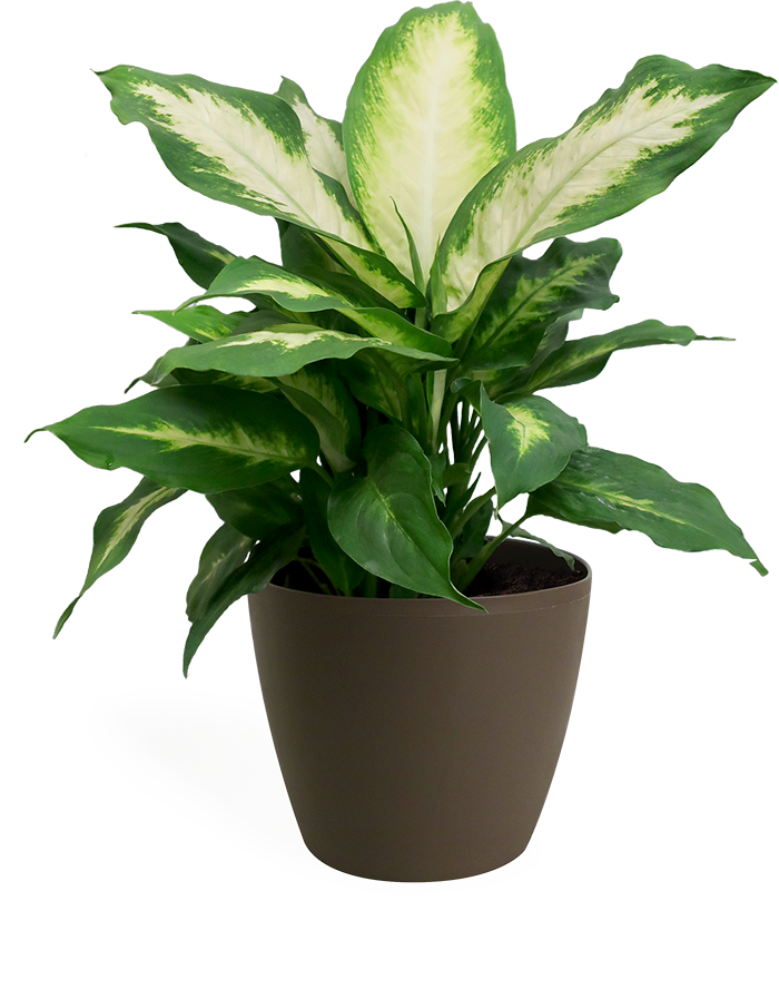 Dieffenbachia Camille Small in Eva Latte
