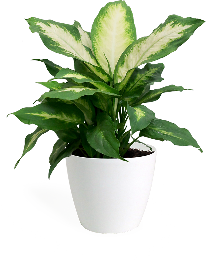 Dieffenbachia Camille Small in Eva White