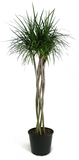 Dracaena Marginata Braid