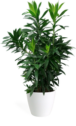 Dracaena Reflexa Medium