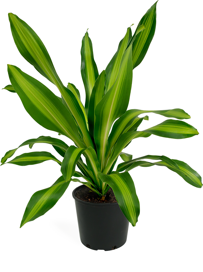 Dracaena Giganta Medium