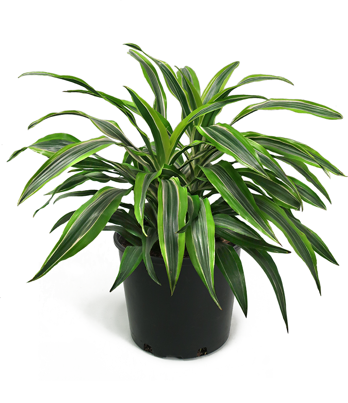 Dracaena Lemon Lime Large