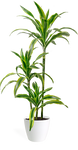 Dracaena Lemon Lime Staggered Cane Large