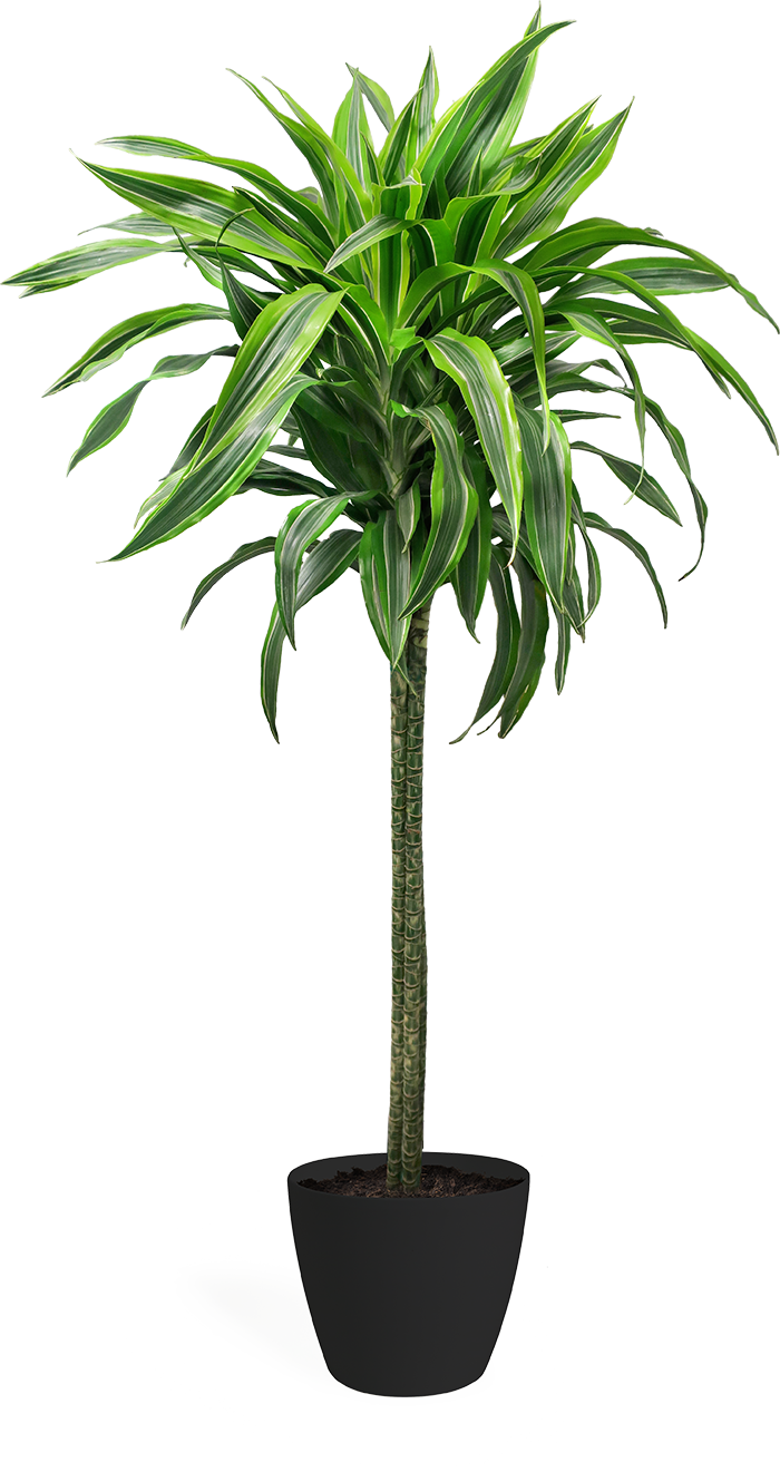 Dracaena Lemon Lime Cane Large