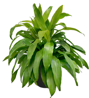 Dracaena Limelight Large