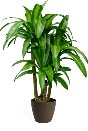 Dracaena Massangeana Stump