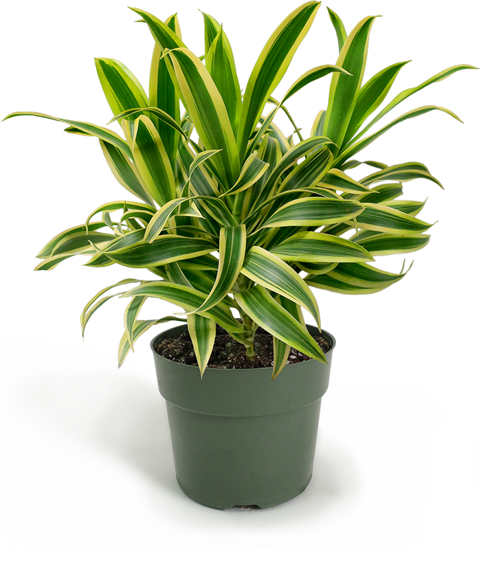 Dracaena Song of India Small