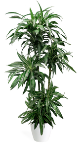 Dracaena Ulysses Medium