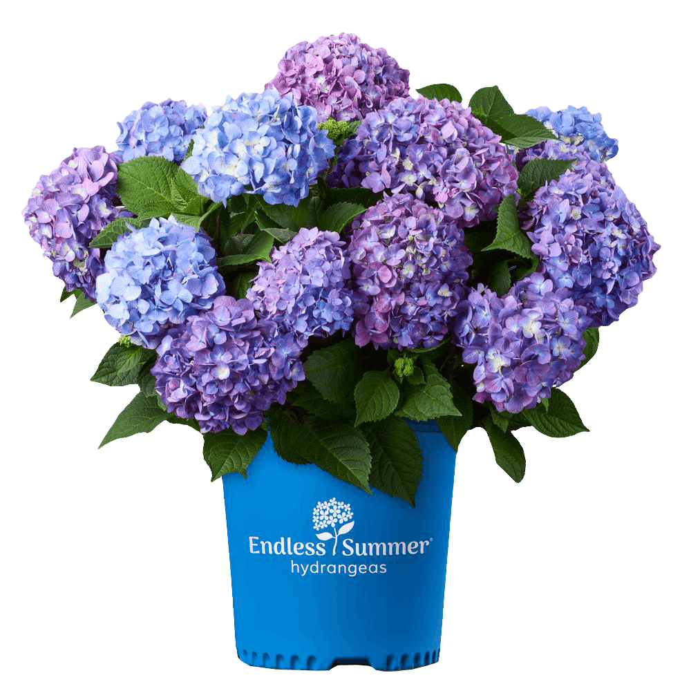 Hydrangea Endless Summer the original