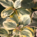 Euonymus Silver King