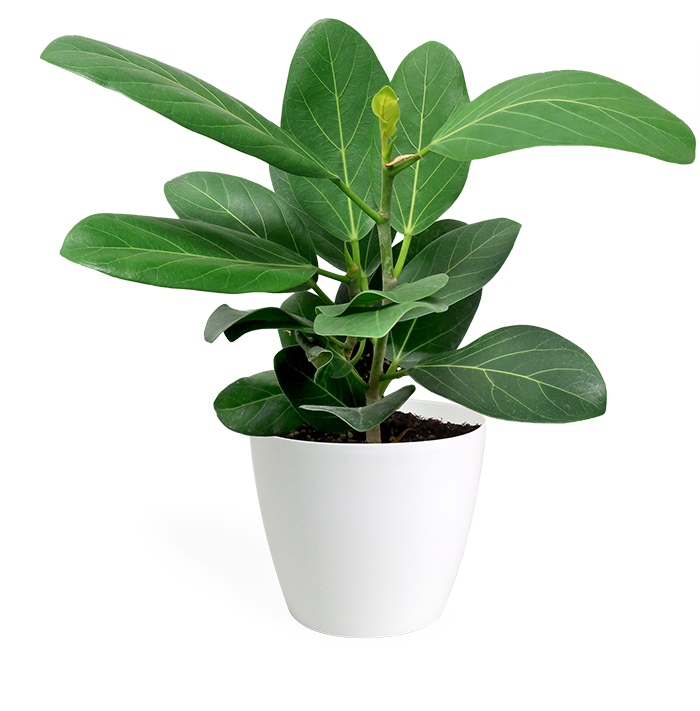 Ficus Audrey Small